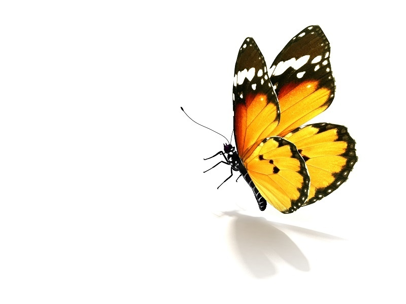 http://labell.ir/images/butterfly/butterfly-007.jpg