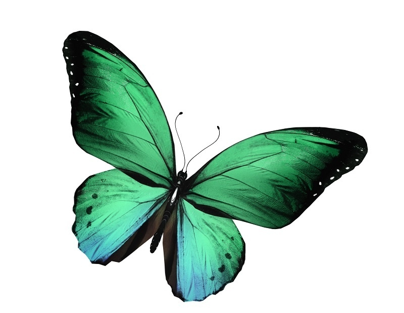 http://labell.ir/images/butterfly/butterfly-047.jpg