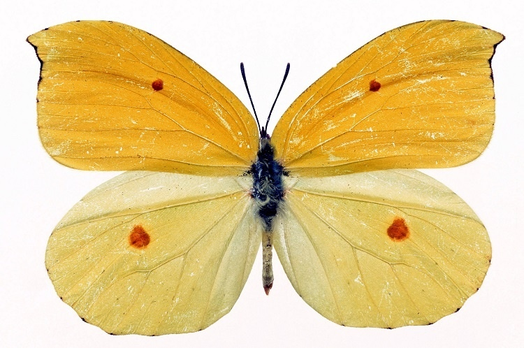 http://labell.ir/images/butterfly/butterfly-057.jpg