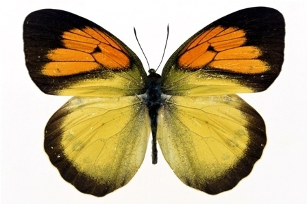 http://labell.ir/images/butterfly/butterfly-060.jpg