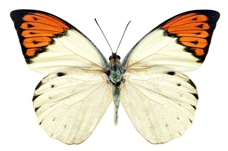 http://labell.ir/images/butterfly/butterfly-061.jpg
