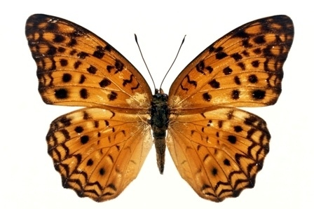 http://labell.ir/images/butterfly/butterfly-063.jpg