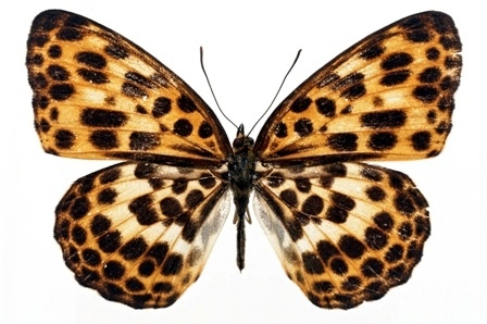 http://labell.ir/images/butterfly/butterfly-064.jpg