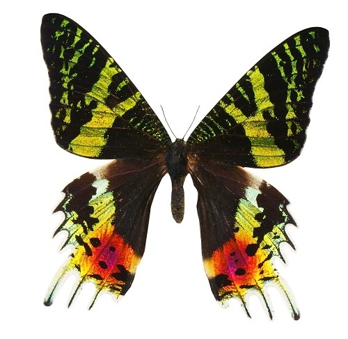 http://labell.ir/images/butterfly/butterfly-068.jpg