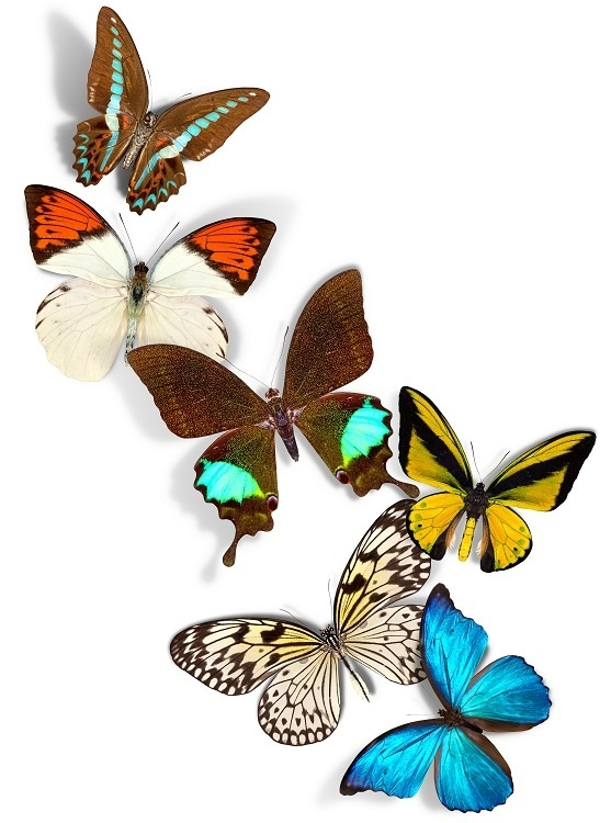 http://labell.ir/images/butterfly/butterfly-074.jpg
