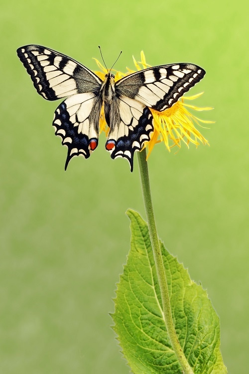 http://labell.ir/images/butterfly/butterfly-095.jpg