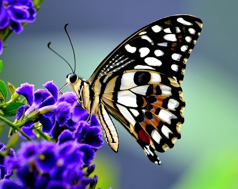 http://labell.ir/images/butterfly/butterfly-097.jpg