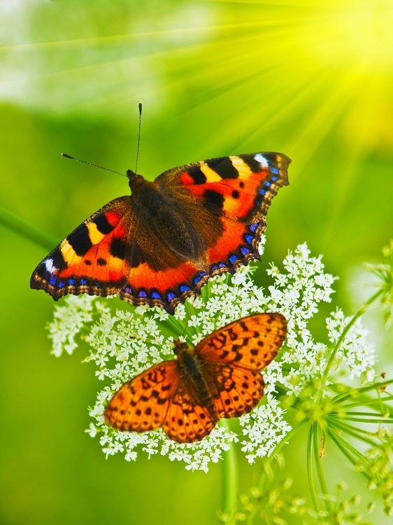 http://labell.ir/images/butterfly/butterfly-104.jpg