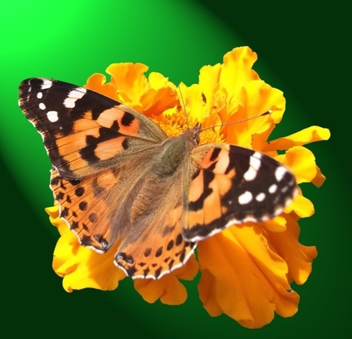 http://labell.ir/images/butterfly/butterfly-106.jpg