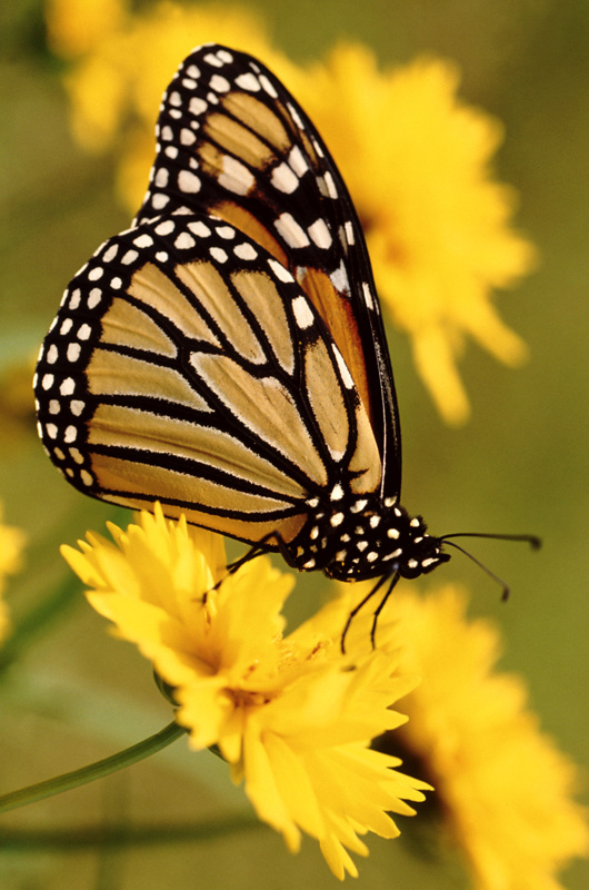http://labell.ir/images/butterfly/butterfly-107.jpg
