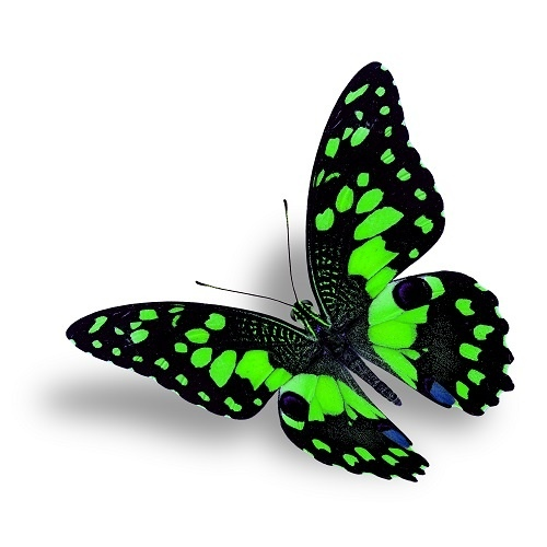http://labell.ir/images/butterfly/butterfly-115.jpg