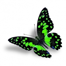 butterfly-پروانه (111)