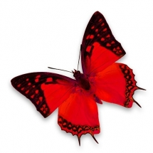 butterfly-پروانه (128)