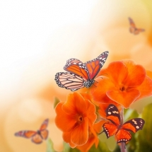 butterfly-پروانه (25)