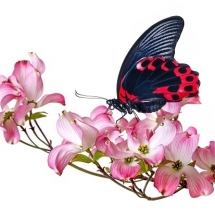 butterfly-پروانه (37)