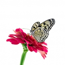 butterfly-پروانه (38)