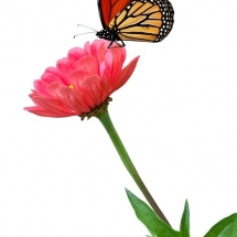 butterfly-پروانه (39)