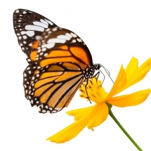 butterfly-پروانه (47)