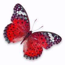 butterfly-پروانه (51)
