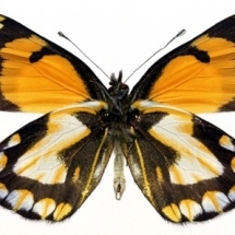 butterfly-پروانه (58)