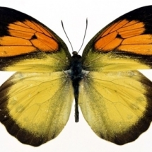 butterfly-پروانه (59)
