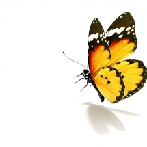 butterfly-پروانه (6)