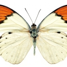 butterfly-پروانه (60)