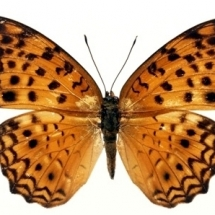 butterfly-پروانه (62)