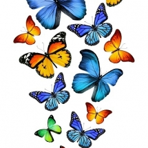 butterfly-پروانه (68)