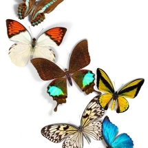 butterfly-پروانه (71)