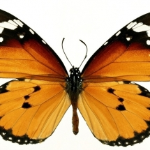 butterfly-پروانه (8)