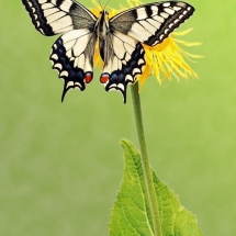 butterfly-پروانه (92)