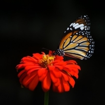 butterfly-پروانه (99)