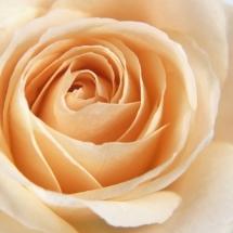 flower-گل (100)