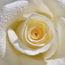flower-گل (102)