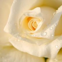 flower-گل (104)