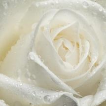 flower-گل (105)