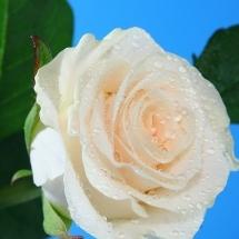 flower-گل (109)