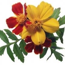 flower-گل (155)