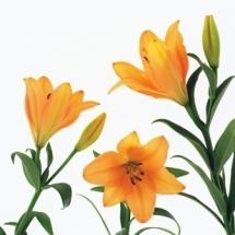 flower-گل (156)