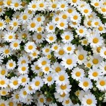 flower-گل (197)