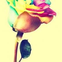 flower-گل (200)