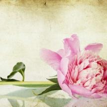 flower-گل (204)