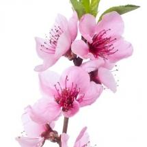 flower-گل (233)