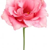 flower-گل (235)