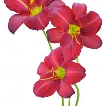 flower-گل (237)