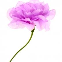 flower-گل (238)