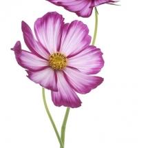 flower-گل (239)