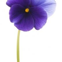 flower-گل (240)