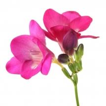flower-گل (241)